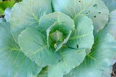 verdura cinese fresca del cavolo Immagine Stock Libera da Diritti