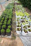 verdura con il sistema dell'irrigazione a goccia in terreno coltivabile Immagini Stock