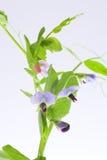 verdura crescente della pianta di pisello dell'alimento Fotografia Stock Libera da Diritti