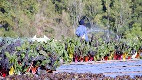 Verdura d'innaffiatura della bietola dell'arcobaleno del giardiniere nel giardino Fotografia Stock