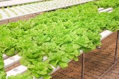 Verdura de ensalada en la granja del hidrocultivo, lechuga de butterhead orgánica imágenes de archivo libres de regalías