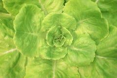 Verdura de ensalada de la visión superior en la granja del hidrocultivo, lechuga de butterhead orgánica fotografía de archivo libre de regalías