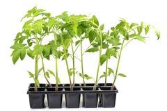 Verdura de la planta de tomates de los almácigos aislada en un Backgroun blanco Imágenes de archivo libres de regalías