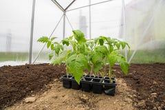 Verdura de la planta de tomates de los almácigos en el pequeño invernadero listo para Foto de archivo