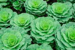 Verdura del cavolo Fotografia Stock