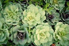verdura del cavolo dell'azienda agricola Fotografie Stock