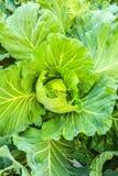 Verdura del cavolo della foglia Fotografie Stock