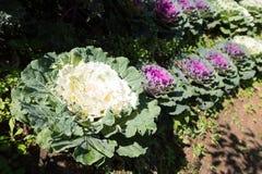 Verdura del cavolo nell'azienda agricola di agricoltura Fotografia Stock