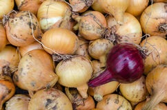 Verdura del giardino della cipolla Fotografie Stock Libere da Diritti