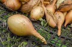 Verdura del giardino della cipolla Immagini Stock Libere da Diritti