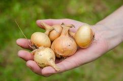 Verdura del giardino della cipolla Immagini Stock