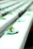 Verdura del hidrocultivo Imágenes de archivo libres de regalías