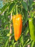 Verdura del pepe Fotografia Stock