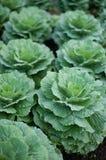 Verdura dell'alimento verde dell'acqua del cavolo Immagini Stock Libere da Diritti