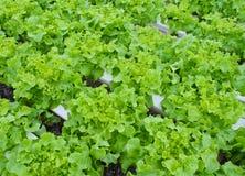 Verdura della lattuga Immagine Stock