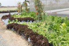 verdura della lattuga con il sistema dell'irrigazione a goccia in terreno coltivabile Immagine Stock