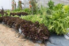 verdura della lattuga con il sistema dell'irrigazione a goccia in terreno coltivabile Fotografia Stock