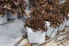 verdura della lattuga con il sistema dell'irrigazione a goccia in terreno coltivabile Immagini Stock