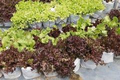 verdura della lattuga con il sistema dell'irrigazione a goccia in terreno coltivabile Fotografia Stock Libera da Diritti