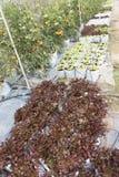 verdura della lattuga con il sistema dell'irrigazione a goccia in terreno coltivabile Fotografie Stock Libere da Diritti