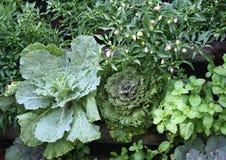 Verdura della lattuga, del cavolo, del pepe e della menta Fotografia Stock