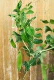 Verdura della pianta di pisello in un giardino Immagini Stock