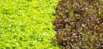 Verdura della quercia verde e rossa fotografia stock