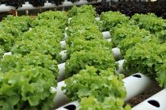 Verdura di coltura idroponica Immagine Stock Libera da Diritti
