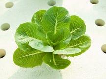 Verdura di coltura idroponica Fotografia Stock Libera da Diritti