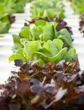 Verdura di coltura idroponica Fotografie Stock Libere da Diritti