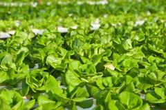 Verdura di coltura idroponica Immagini Stock