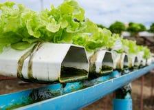 Verdura di coltura idroponica. Fotografia Stock Libera da Diritti