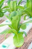 Verdura di coltura idroponica Fotografie Stock