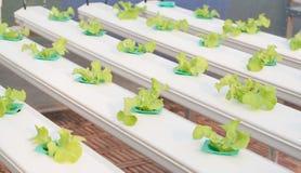 Verdura di coltura idroponica Immagine Stock