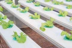 Verdura di coltura idroponica Fotografia Stock