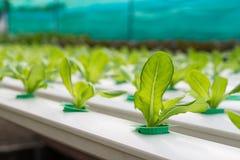 Verdura di coltura idroponica Immagini Stock Libere da Diritti