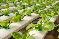 Verdura di coltura idroponica in azienda agricola Fotografia Stock