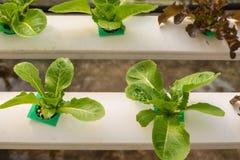 Verdura di coltura idroponica in azienda agricola Fotografie Stock