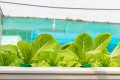 Verdura di coltura idroponica in azienda agricola Immagini Stock