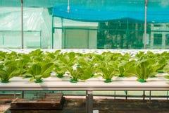 Verdura di coltura idroponica in azienda agricola Fotografie Stock Libere da Diritti