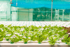 Verdura di coltura idroponica in azienda agricola Fotografia Stock Libera da Diritti