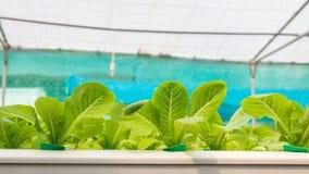 Verdura di coltura idroponica in azienda agricola Immagine Stock