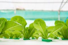 Verdura di coltura idroponica in azienda agricola Immagine Stock Libera da Diritti