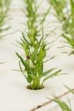 Verdura di coltura idroponica in azienda agricola, ipomea Fotografia Stock Libera da Diritti