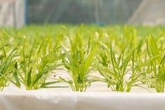 Verdura di coltura idroponica in azienda agricola, ipomea Immagini Stock Libere da Diritti