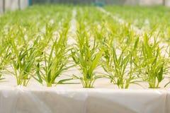 Verdura di coltura idroponica in azienda agricola, ipomea Fotografie Stock