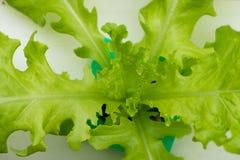 Verdura di coltura idroponica in azienda agricola, lattuga Fotografia Stock Libera da Diritti