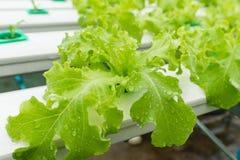 Verdura di coltura idroponica in azienda agricola, lattuga Immagini Stock Libere da Diritti