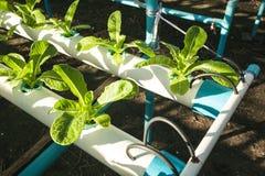 Verdura di coltura idroponica di coltivazione in azienda agricola Immagini Stock
