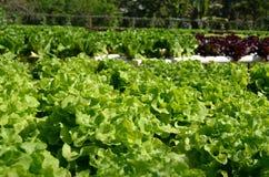 Verdura di insalata Fotografia Stock